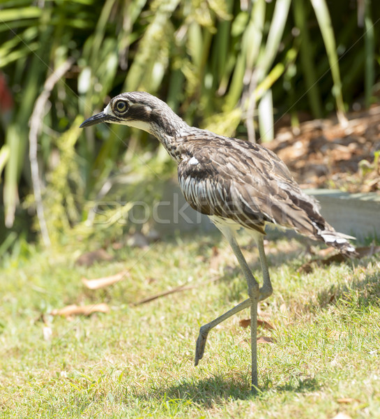 Bush Curlew Bird Australia Stock photo © THP