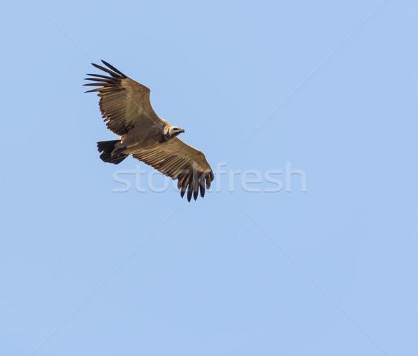 Dögkeselyű repülés repülés kék ég Afrika madarak Stock fotó © THP