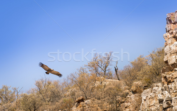 Vulture Soaring Stock photo © THP