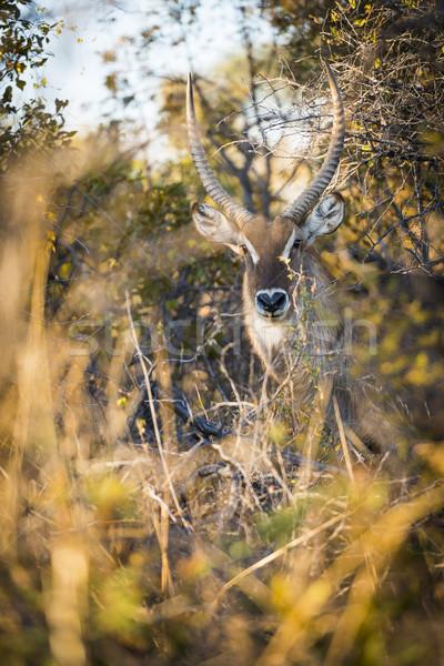 Greater Kudu Africa Stock photo © THP