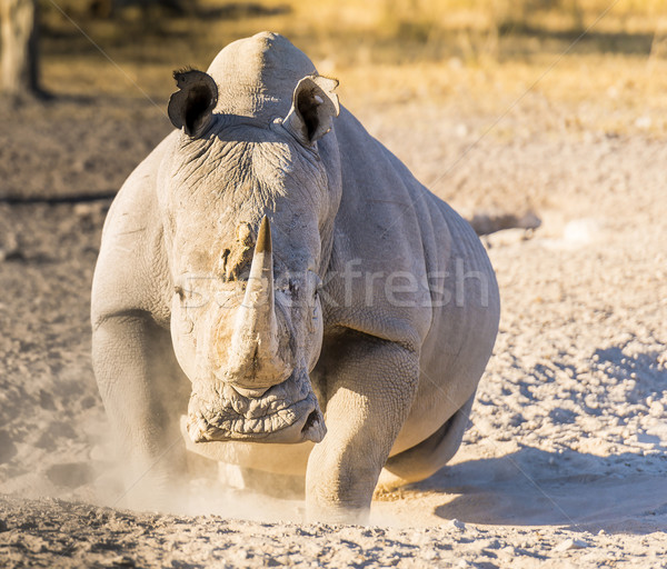 White Rhino Angry Stock photo © THP