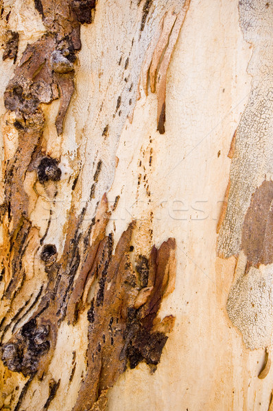 Gum Tree Bark Stock photo © THP