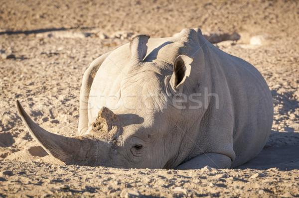 Branco rinoceronte África sujeira enorme Foto stock © THP
