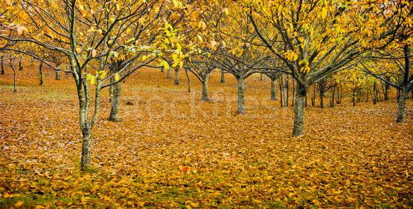 Orchard in Autumn Stock photo © THP