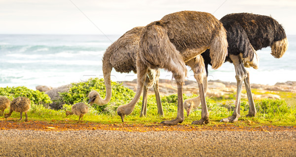 Stock photo: Ostrich Family