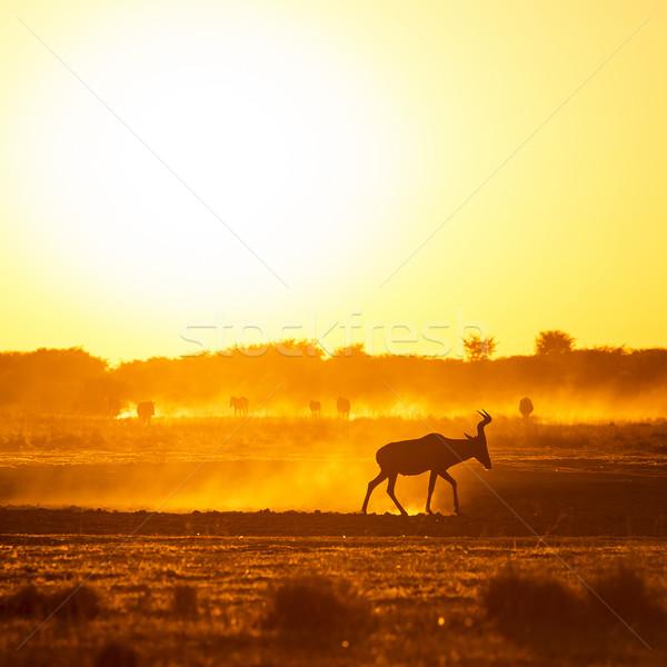 Africa Sunset Impala Stock photo © THP