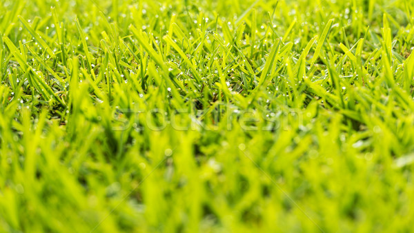 Grass Dew Drops Stock photo © THP