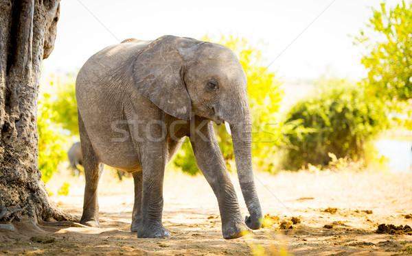 Elephant Baby Calf In Wild Stock photo © THP