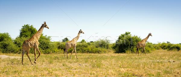 Troupeau girafes Afrique courir ciel Photo stock © THP