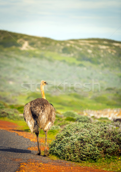 Ostrich Beside Road Stock photo © THP