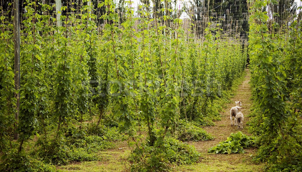 Stock photo: Lambs in Hops