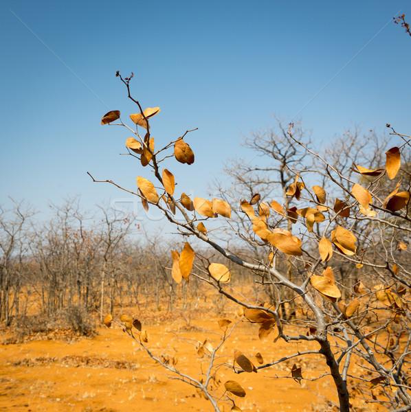 Botsvana sonbahar düşmek yaprakları çevirmek kahverengi Stok fotoğraf © THP