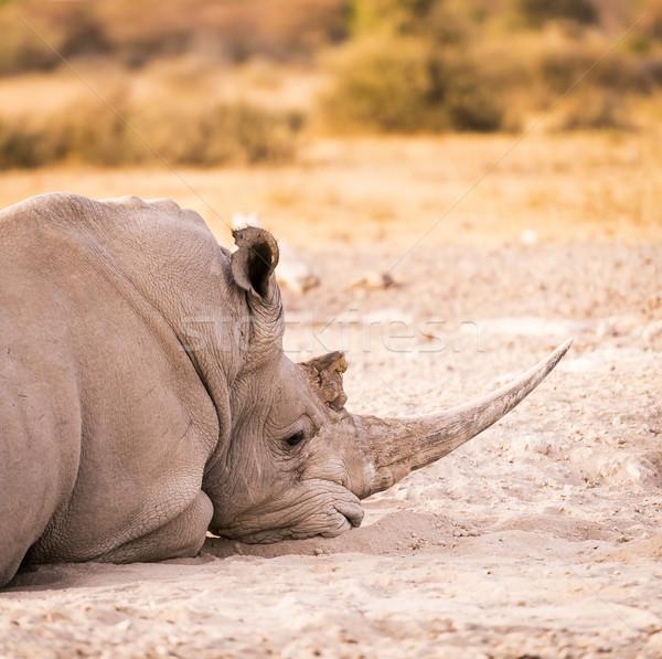 White Rhino Resting Stock photo © THP