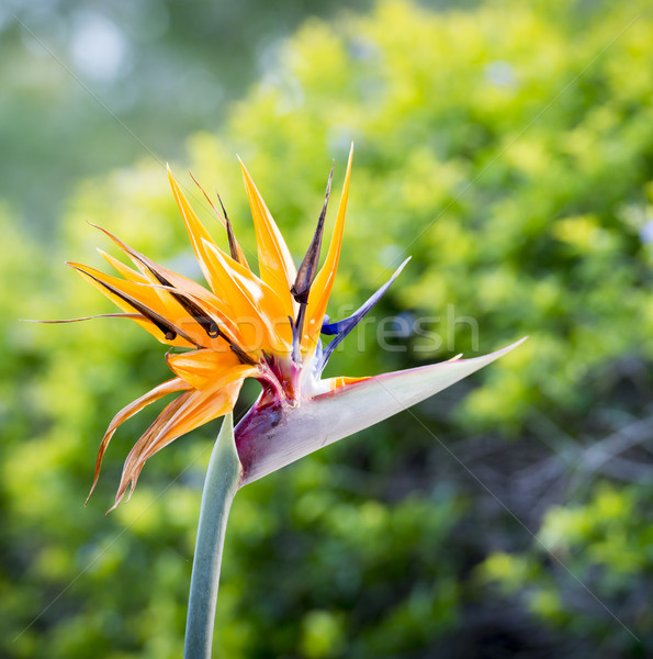 鳥 楽園 花 フル 咲く 熱帯 ストックフォト © THP