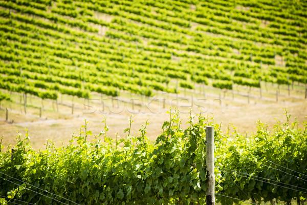Szőlő szőlő gazdag vibráló zöld ki Stock fotó © THP