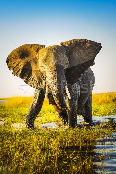 Elephant Charging Stock photo © THP