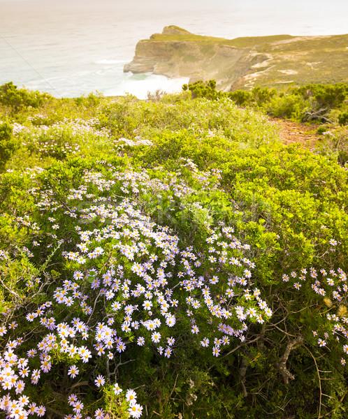 Daisy fioletowy dobre nadzieję półwysep Południowej Afryki Zdjęcia stock © THP