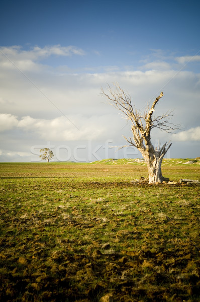 Dead Tree Stock photo © THP