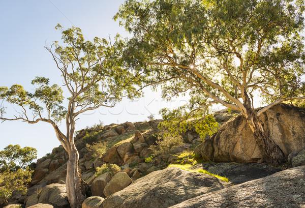 íny fák őslakos ausztrál kanyon Dél-Ausztrália Stock fotó © THP