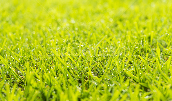 Lawn Dew Drops Stock photo © THP