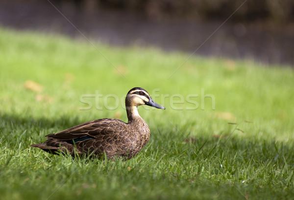 Pacific Black Duck Stock photo © THP