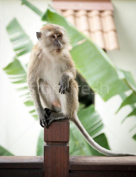 обезьяны портрет азиатских Азии Сток-фото © THP