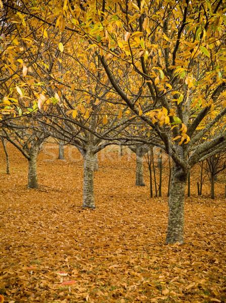 Orange verger perdre laisse spectaculaire écran Photo stock © THP