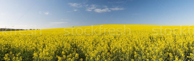Canola Field Panorama Stock photo © THP