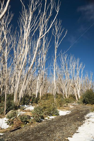 Kar ağaçlar çıplak kapak ağaç Stok fotoğraf © THP