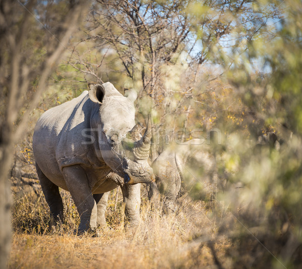 White Rhinoceros Africa Stock photo © THP