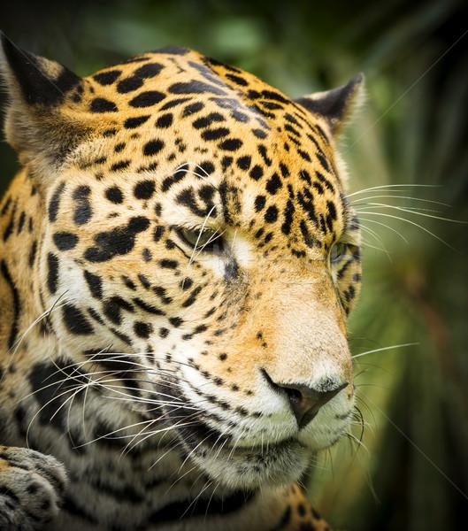 Jaguar Cat In Jungle Stock photo © THP