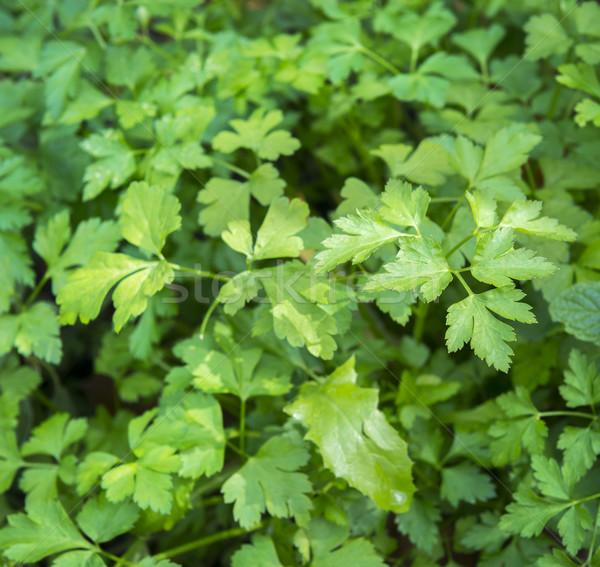 Kişniş taze otlar büyüyen organik bahçe Stok fotoğraf © THP