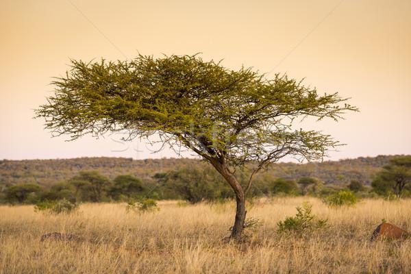 Acacia Tree Africa Stock photo © THP