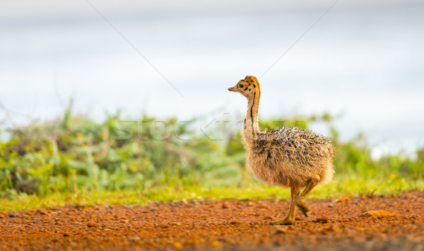 Ostrich Chick Stock photo © THP