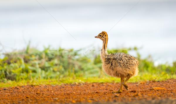 Struzzo chick bene speranza penisola Sudafrica Foto d'archivio © THP