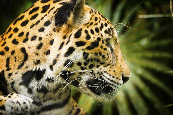 Jaguar Cat Profile Stock photo © THP