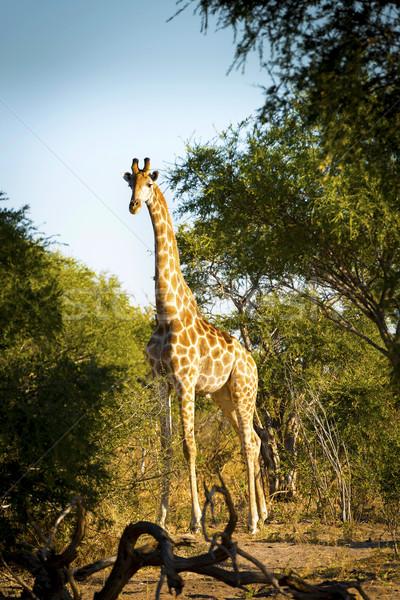 Giraffe Stock photo © THP