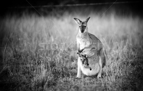 Kangaroo and Joey Stock photo © THP