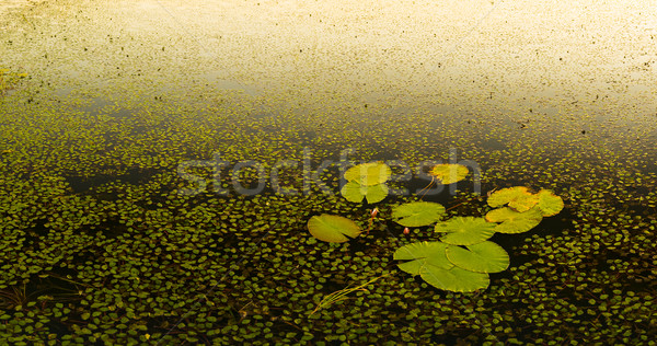 Water Lily Pads Stock photo © THP