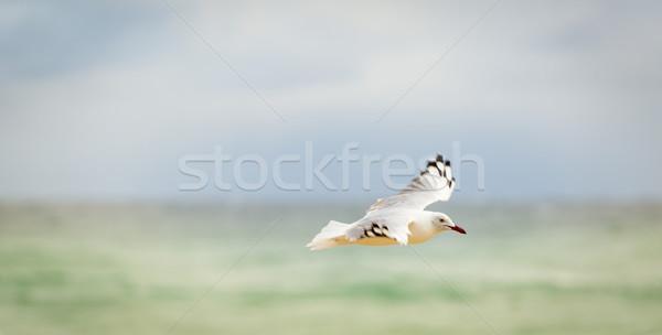 Gaviota vuelo hermosa océano playa agua Foto stock © THP