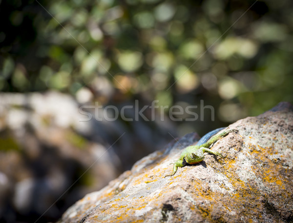 Emerald Swift Lizard basking Stock photo © THP