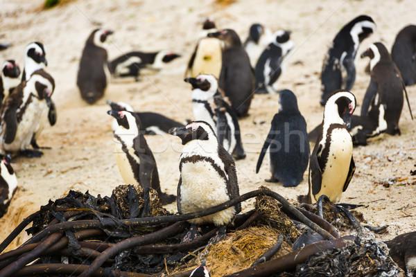 Boulders Penguin Colony Stock photo © THP