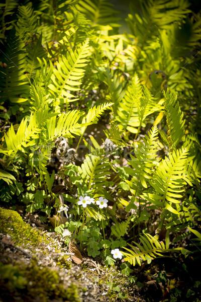 çiçekler eğrelti otları kır çiçekleri güneş ışığı yeşil Stok fotoğraf © THP