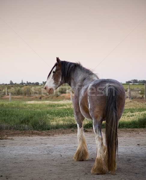 Clydesdale Horse Stock photo © THP
