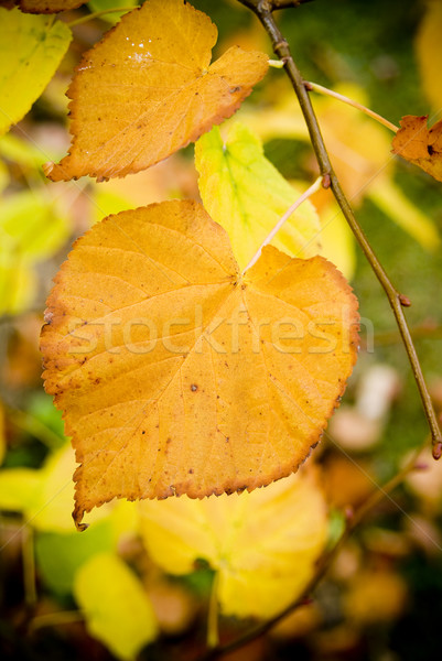 Autumn Leaves Stock photo © THP