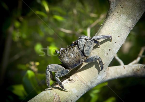 Rák ág fa ázsiai kagyló állat Stock fotó © THP