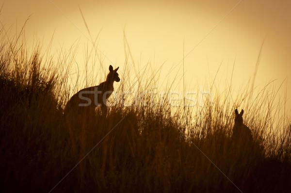 Kenguru sziluettek ausztrál naplemente vad fű Stock fotó © THP