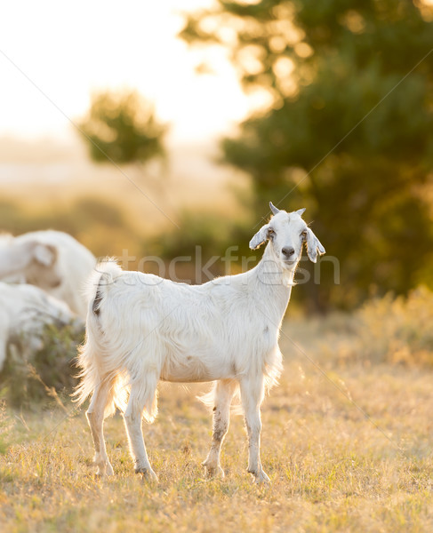 Goats Grazing in Field Stock photo © THP