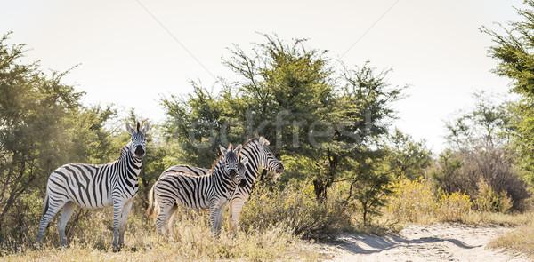 Zèbre famille bébé Botswana Afrique nature Photo stock © THP