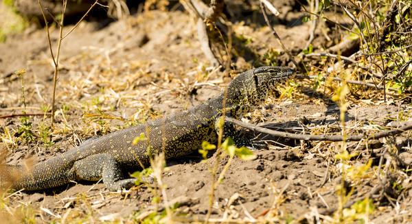 Monitor lagarto parque Botswana África água Foto stock © THP